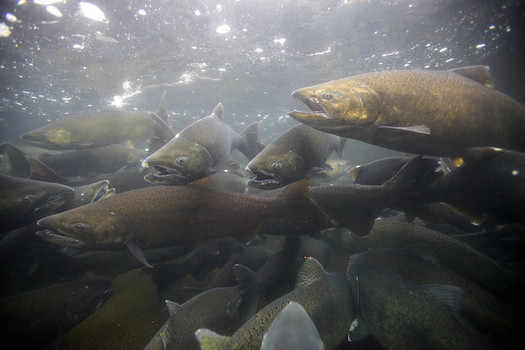 Some groups in the Northwest say four dams in southwest Washington need to come down in order to save the region's native salmon populations. (Ryan Hagerty/U.S. Fish and Wildlife Service)