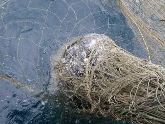 Gray whales are one of more than 70 species that get trapped in gillnets, which have a large percentage of incidental bycatch. (NOAA)