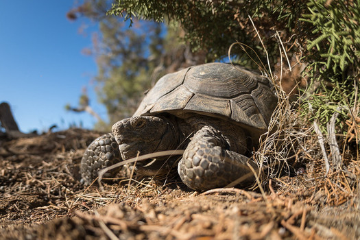 The Desert Renewable Energy Conservation Plan contains habitat protections for many threatened species, including the desert tortoise. (Kurt Moses/Joshua Tree National Park)
