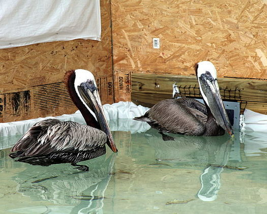 The Migratory Bird Protection Act helped secure funds from BP to remove oil from birds caught in the 2010 Deepwater Horizon oil spill. (USFWS)