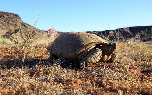 "About 2,000 rare Mojave Desert tortoises are left in southern Utah's Red Cliff Desert Reserve. The reptiles are considered ""threatened"" but were removed from the federal Endangered Species List in 1996. (Utah Division of Wildlife Resources)"