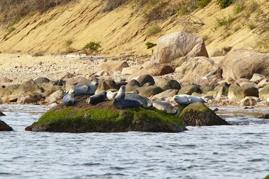 Every winter, hundreds of seals bask on the offshore rocks of Plum Island. (Robert Lorenz)