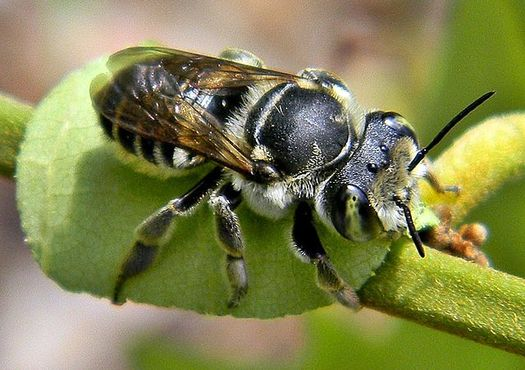 Common halictid bee populations have declined by 17% since 1990, while the rarer Melittidae have dropped by 41%. (Bob Peterson/Wikimedia Commons)