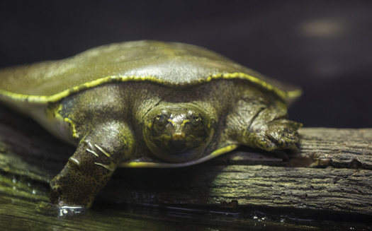 The spiny softshell is among the three turtle species allowed to be commercially harvested in Minnesota. (Adobe Stock)