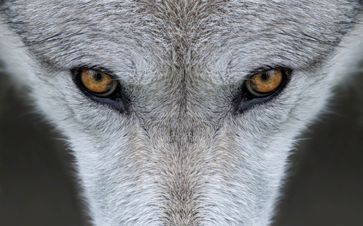 Wildlife protection groups say despite promising numbers in certain regions, America's gray wolf population has not recovered enough to allow hunting of the animal. (Adobe Stock)