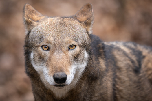 The red wolf is the world's most endangered canid, and the Southeast's native wolf. (Adobe Stock)