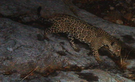 Jaguars are considered an Endangered Species across their range along the border of Mexico and state-level protections exist in Arizona and New Mexico. (defenders.org)