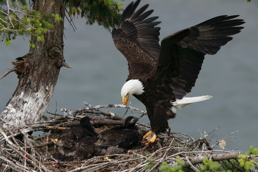 Once near extinction, in 2020 there were an estimated 316,700 bald eagles in the lower 48 states, including 71,400 nesting pairs. (Frank Fichtmüller/Adobe Stock)