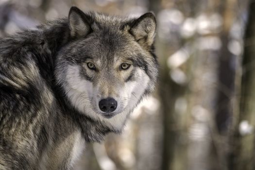 Wildlife-protection groups say despite promising numbers in certain regions, America's gray wolf population has not recovered enough to allow hunting of the animal. (Adobe Stock)