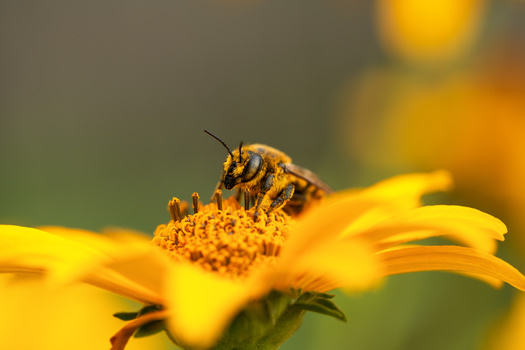 Connecticut, Maryland and Vermont all have banned the sale of neonicotinoids, bee-killing pesticide, according to Environment America. Florida has yet to do so, but the group hopes it also will take action in order to save the insect. (Adobe Stock)
