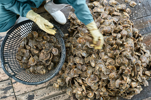 North Carolina's commercial oyster landings rake in millions of dollars in revenue each year. (Adobe Stock)