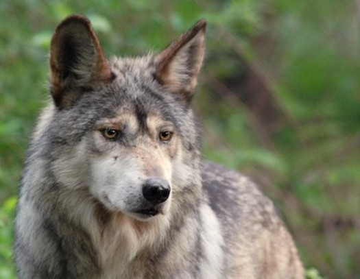 A family of endangered Mexican gray wolves will be released on property owned by communications magnate Ted Turner, where work to breed endangered Bolson tortoises, aplomado falcons and threatened Chiricahua leopard frogs has been successful. (rewilding.org)