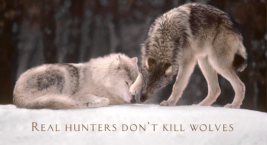 This is the type of display seen on billboards in northern Wisconsin, posted by a group of sportsmen and women opposed to wolf hunts. (Jim Brandenburg)
