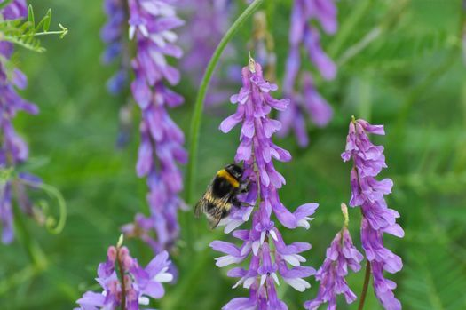 Bumblebees can die or be rendered sterile by systemic pesticides present in flower pollen. (PANNA)