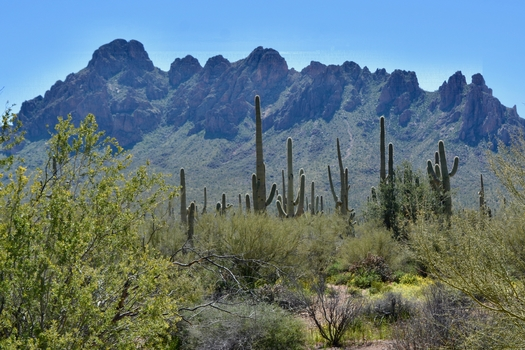 A stand of Saguaro cactus and Ironwood trees are framed by Ragged Top Mountain in Arizona's  Ironwood Forest National Monument. (TeressaJackson/Adobe Stock)