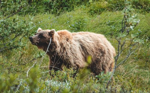 A grizzly bear roams inside Alaska's Denali National Park. (Adobe Stock)