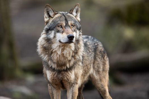 University of Wisconsin researchers estimate the state's gray wolf population sits at about 700, a 30% drop they believe was caused by poaching and a licensed hunt after federal protections were removed. (Adobe Stock)