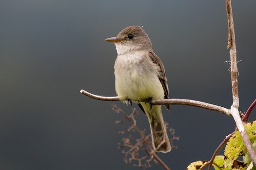 Because of river-flow reductions and habitat alteration and loss, the southwestern willow flycatcher teeters on the brink of extinction. (eBIrd.org)
