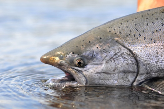Chinook salmon spawn in four runs per year. The eggs, fry and juveniles in the winter and fall runs are expected to be harmed this year by water flows that are too warm. (dhogan172/Adobe Stock)