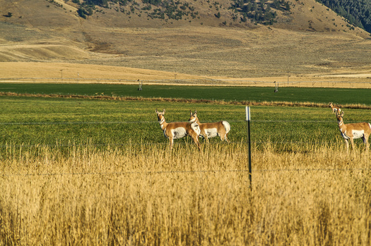 Pronghorn populations migrate more than 200 miles between Montana and Canada. (Sue Smith/Adobe Stock)