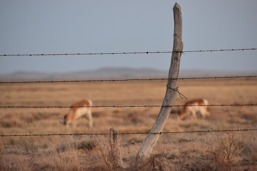 There are 40,000 to 45,000 pronghorn in New Mexico, according to recent estimates from state wildlife officials. (Brianna/Adobe Stock)