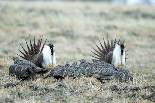 Sage grouse already are endangered in Wyoming and other states, and the proliferation of fences is seen by wildlife experts as one more barrier to their recovery. (Stan/Adobe Stock)