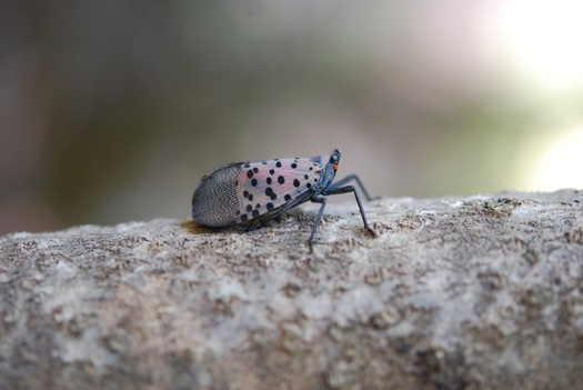 Spotted lanternflies have been reported in Ohio, Indiana, Pennsylvania and several other states near the East Coast. (Ohio Dept. of Agriculture)