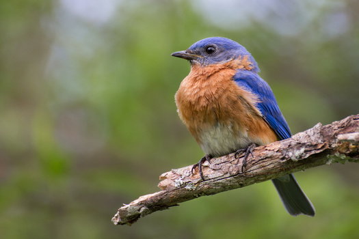 According to the Connecticut Audubon Society, the most common species with symptoms of the unidentified disease range from bluebirds to American robins and European starlings, to songbirds and hummingbirds. (Adobe Stock)