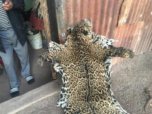 In 2018 an unknown hunter killed and skinned one of the few remaining jaguars in Arizona, a male named Yo'oko. (Center for Biological Diversity)