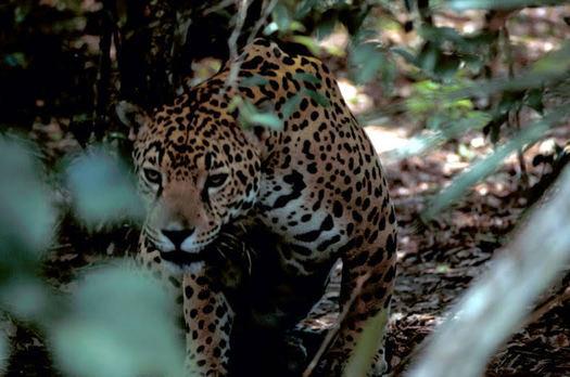 The jaguar named