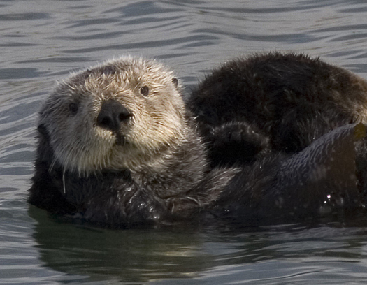This, year the theme of Sea Otter Awareness Week is the species' key role in the mosaic of the ecosystem. (Wikimedia Commons)