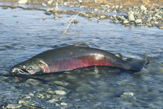 Rep. Mike Simpson, R-ID, has proposed a $33.5 billion plan to save Chinook salmon and other endangered fish in the Columbia River Basin. (BLM/Flickr)