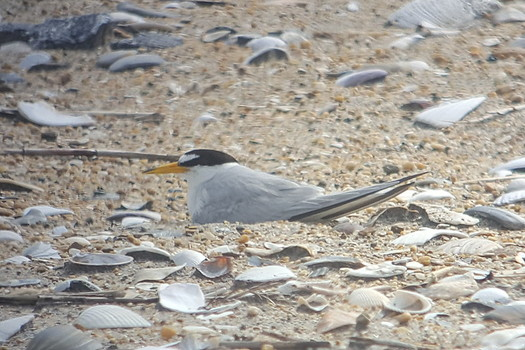 The least tern is among nearly 500 species under threat of decline in North Carolina. (Don Henise/Flickr)