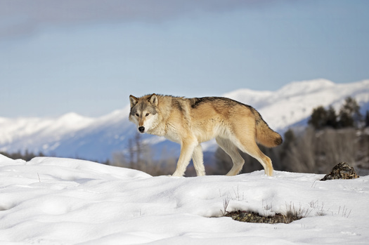 Wolves had made a major comeback in the West, but wildlife managers say policies in Montana threaten to roll back that progress. (jimcumming88/Adobe Stock)