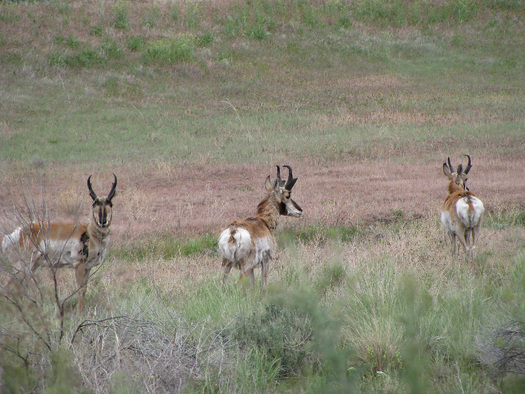 PHOTO: pronghorn. Photo credit: Deborah Smith