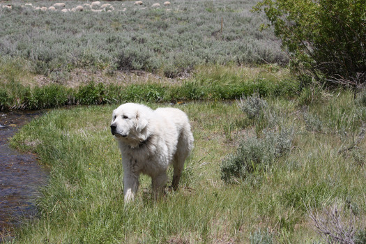 PHOTO: Livestock protection dog with sheep in background. Photo credit: Deborah Smith