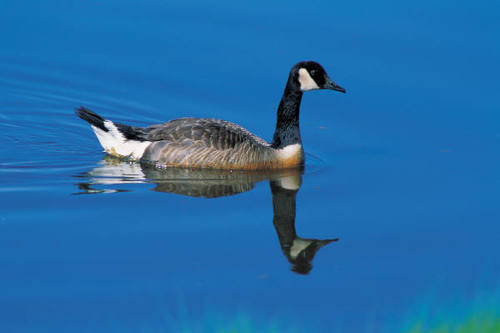 PHOTO: The slaughtering of Canada Geese in New York City, Westchester County, and elsewhere continues to bring protests.