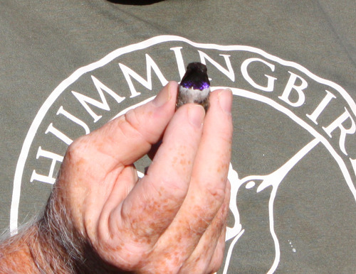 PHOTO: Fred Bassett, Hummingbird Research, Inc., holding a male, black-chinned hummingbird. Photo credit: Deborah Smith