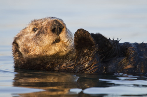 PHOTO: Sea otter. Photo credit: Cindy Tucey