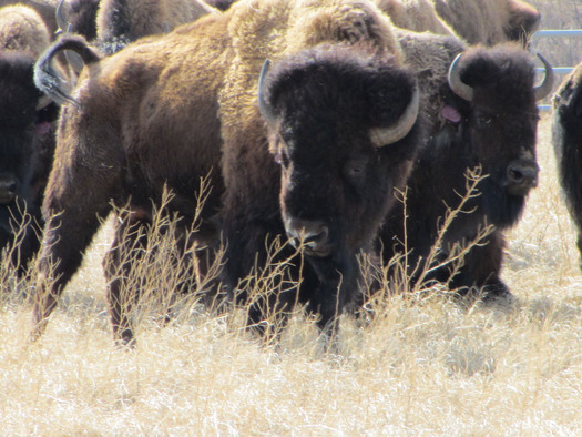 PHOTO: Bison that need to be transferred. Photo credit: Garrit Voggesser