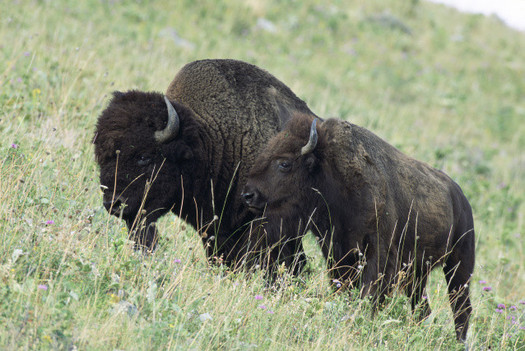 PHOTO: Bison and calf. Photo credit: USFWS