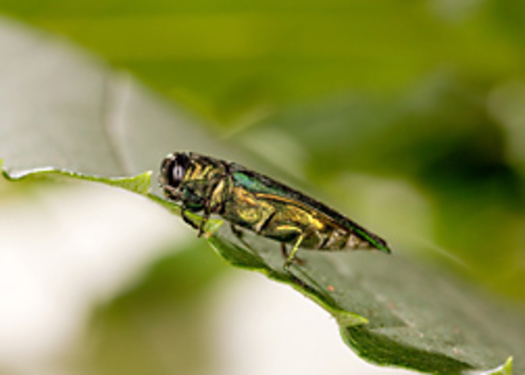 PHOTO: An emerald ash borer Photo credit: USDA