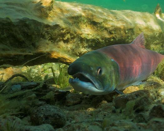 PHOTO: Sockeye salmon in Redfish Lake. Photo credit: Neil Ever Osborne/Save Our Wild Salmon.