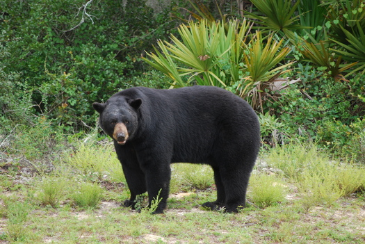 Photo: Black bear in Florida wild, Courtesy: Bruce Britt