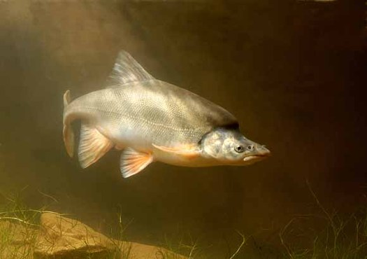 PHOTO: Only six populations of humpback chub are known to exist; five are in the Colorado River Basin. Courtesy of U.S. Geological Survey.