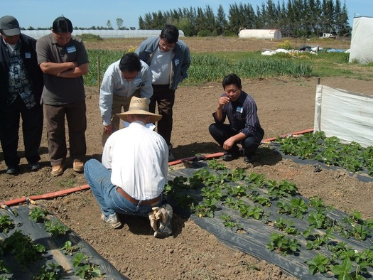 PHOTO: Mien growers learning about sustainable strawberry production in a program that's at risk of losing funding if Congress doesn't act on a farm bill soon. Photo credit: NCAT