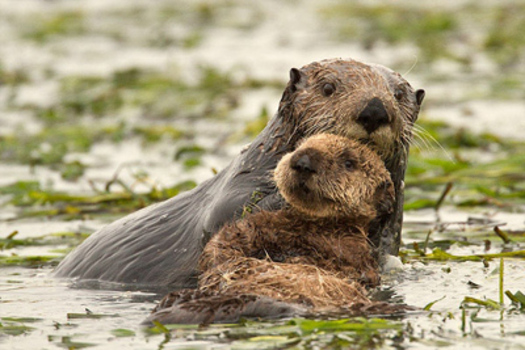 PHOTO: Sea otters will now be welcome in Southern California. Courtesy of Cindy Tucey.