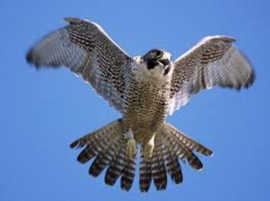 PHOTO: The peregrine falcon was once on the federal list of endangered and threatened species, but was removed in 1999. Photo Credit: UC-Santa Cruz
