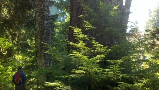 "PHOTO: Some old-growth trees in Oregon's Crabtree Valley have names. This giant is known as ""King Tut."" Photo by Chandra LeGue."