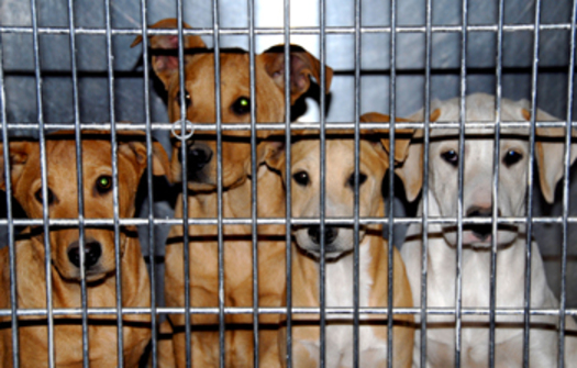 """PHOTO: If you buy a puppy online, is it from a reputable breeder or a puppy mill? The International Fund for Animal Welfare found 62 percent of the online ads it examined on a single day were """"likely puppy mills."""" Courtesy of IFAW."""
